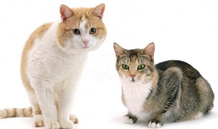 Biar Nggak Bingung, Ini 4 Perbedaan Kucing Jantan dan Betina
