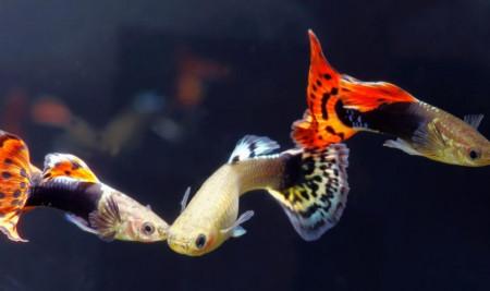 Bisa Buat Budidaya! Begini Cara Merawat Ikan Guppy Agar Tidak Gampang Mati