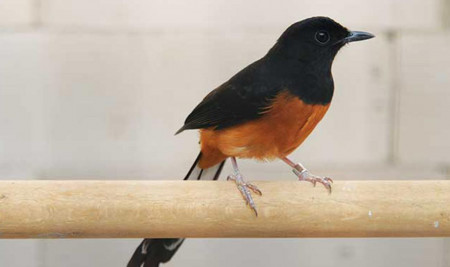 Jadi Jagoan, Ini 5 Cara Merawat Burung Murai Batu Agar Menang Lomba