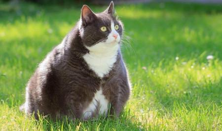 Obesitas Pada Kucing: Ciri-ciri dan Bahayanya Jika Kucingmu Mengalami Gangguan Ini
