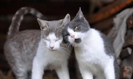Bakal Lebih Caper! Yuk, Mengenal Ciri-Ciri Kucing Peliharaan Birahi dan Mau Kawin