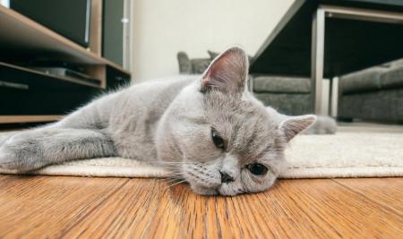 Kenali 10 Ciri-Ciri Kucing Sedih Berikut Ini Beserta Penyebab dan Cara Mengatasinya