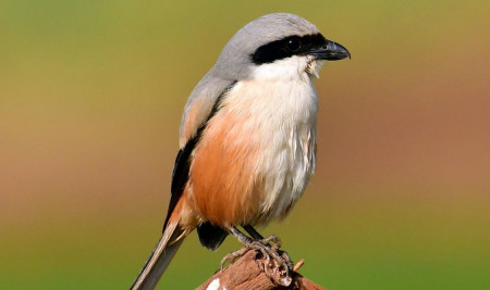 7 Cara Merawat Burung Cendet Biar Gacor dan Punya Jiwa Petarung!