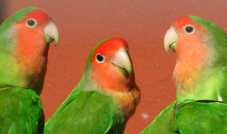 Ternyata Ini Penyebab dan Cara Mengatasi Lovebird Cabut Bulu!