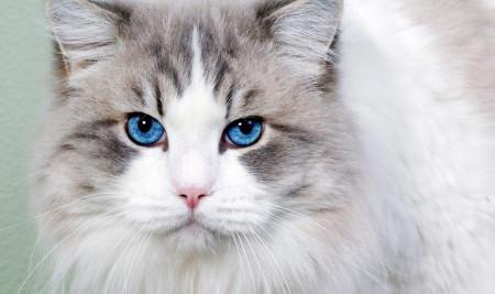 Mau Punya Kucing Mata Biru? Ini Ras Kucing yang Memilikinya!