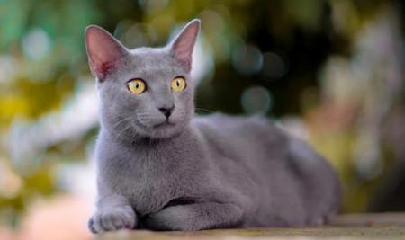 Banyak yang Hampir Punah, Ini Daftar Kucing Indonesia Asli!