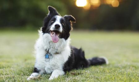 Mau Pelihara Anjing? Ini 10 Ras Anjing Pintar yang Wajib Kamu Pilih!