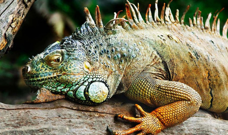 Cantik dan Eksotis! Ini 10 Jenis Iguana yang Sering Dianggap Asli Indonesia Wajib Kamu Pelihara