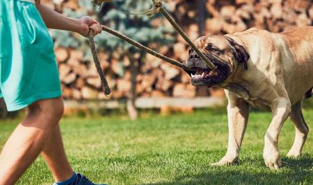 8 Jenis Anjing Penjaga Kuat dan Aman Dipelihara, Mau Beli?