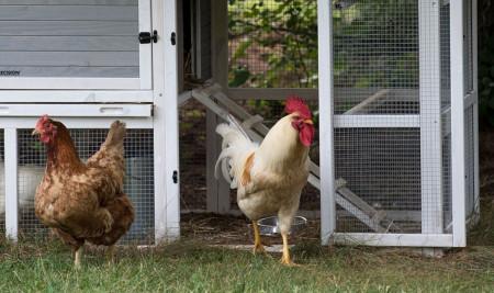 Cara Membuat Kandang Ayam Sederhana, Mudah Banget!
