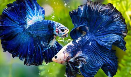 7 Rekomendasi Makanan Ikan Cupang agar Cepat Besar, Tinggi Protein!