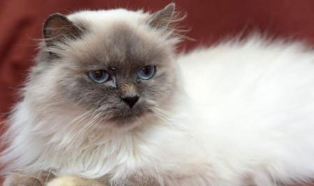 7 Perbedaan Kucing Ragdoll dan Himalaya yang Wajib Diketahui!