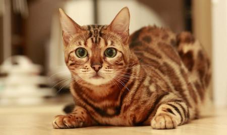 8 Jenis Ras Kucing Termahal di Dunia, Harganya Sampai Tembus Miliaran, Lho!