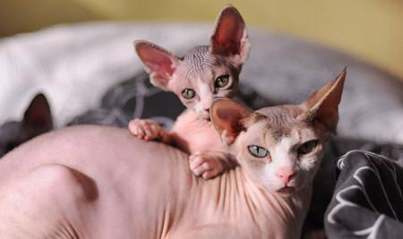Mengenal Kucing Sphynx, dari Ciri-Ciri, Jenis, Sejarah, & Fakta Uniknya