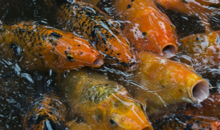 Ini Rahasia Jenis Makanan Ikan Koi yang Bisa Mempercantik Warna Ikanmu!