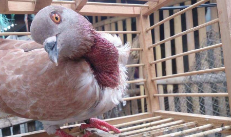 4 Penyebab Burung Tetelo yang Harus Kamu Waspadai Jika Memelihara Burung