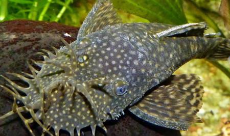 Kenali Spesies dan Makanan Ikan Sapu Sapu yang Paling Disukai