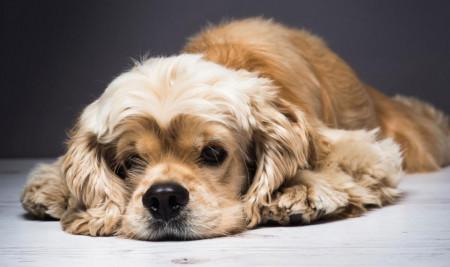 Dijamin Ampuh, Ini 8 Bahan untuk Cara Menghilangkan Kutu Anjing