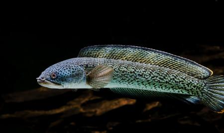 Setara CBR, Ini 6 Jenis Ikan Channa Termahal yang Harganya Fantastis