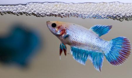 Beragam Cara Merawat Telur Ikan Cupang Hingga Menetas yang Bisa Dipraktekan