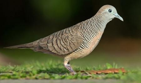 6 Ciri-Ciri Burung Perkutut Jantan yang Bisa Kamu Ketahui