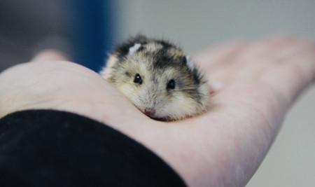 Tertarik Beli Hamster? Ketahui 12 Manfaat Memelihara Hamster Berikut Ini