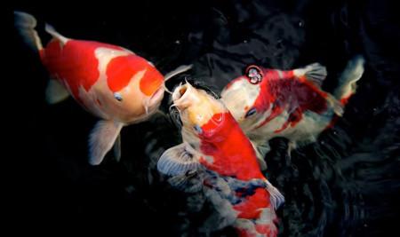 4 Jenis Penyakit Ikan Koi Yang Mematikan Beserta Cara Mengobatinya