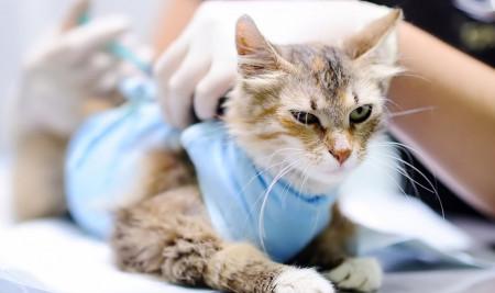 Panleukopenia pada Kucing, Apakah Bisa Sembuh Total?