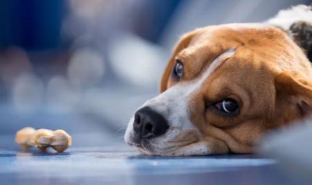 9 Cara Mengatasi Anjing Keracunan Dengan Cepat dan Alami