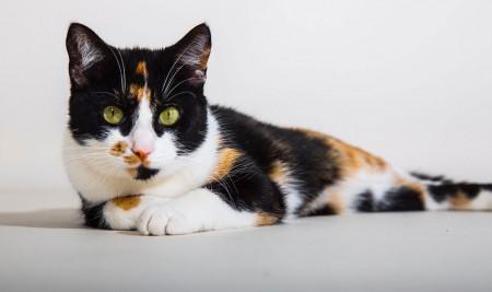 Mengenal Jenis Warna Kucing dan Pola Bulunya Disertai Karakternya