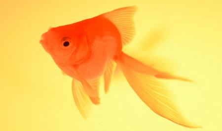 Daftar Jenis Ikan Mas Koki Beserta Harganya yang Paling Cantik & Paling Populer