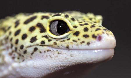 Mau Pelihara? Ini Daftar Jenis Gecko dan Harga Terbarunya di Tahun 2021