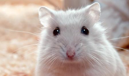 Dijamin Hilang, Begini Cara Menghilangkan Kutu Pada Hamster Paling Ampuh!