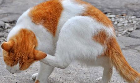 Ciri-ciri Kucing Jamuran Lengkap dengan Cara Pengobatannya