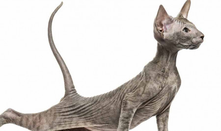 Deretan Jenis Kucing paling jelek di Dunia, Yakin Mau Pelihara?