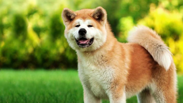 Anjing Penjaga Akita Vs German Shepherd Mana Lebih Kuat Pintarpet