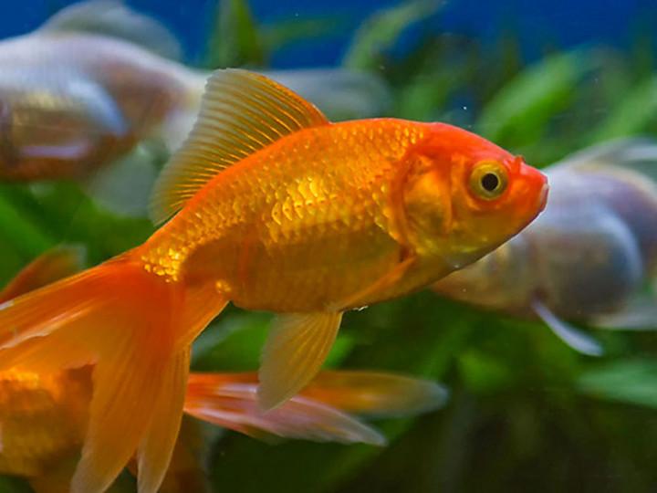 10 Ikan Hias Air Tawar Yang Bisa Dicampur Di Satu Akuarium Pintarpet