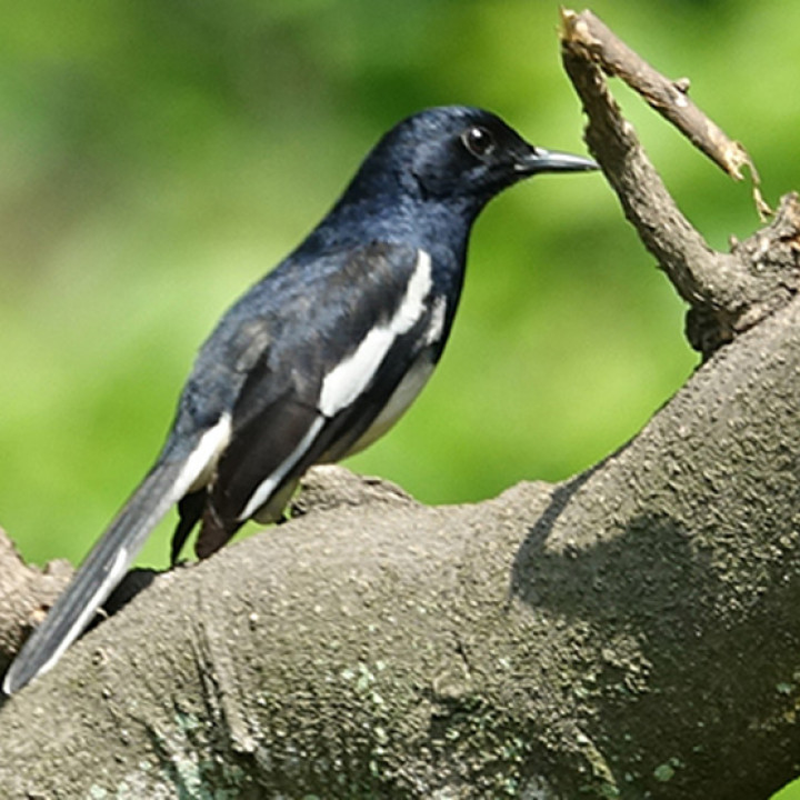 6 Cara Merawat Burung Kacer Agar Gacor Dan Sehat Selalu Pintarpet
