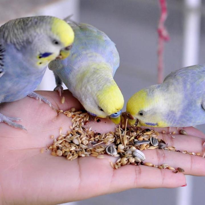 8 Makanan Burung Parkit Agar Sehat Dan Cepat Bertelur Pintarpet