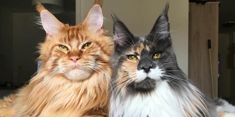 Kucing Maine Coon Ciri Jenis Sejarah Fakta Uniknya Pintarpet