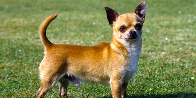8 Jenis Anjing Lucu Dan Menggemaskan Yang Wajib Dipelihara Pintarpet