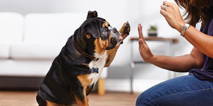 7 Cara Melatih Anjing Sejak Dini Agar Pintar Dan Penurut Pintarpet
