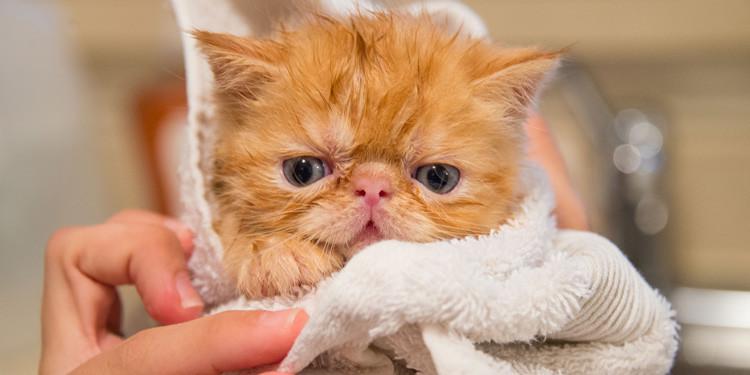 Panduan Cara Memandikan Kucing Yang Tepat Anti Berontak Pintarpet