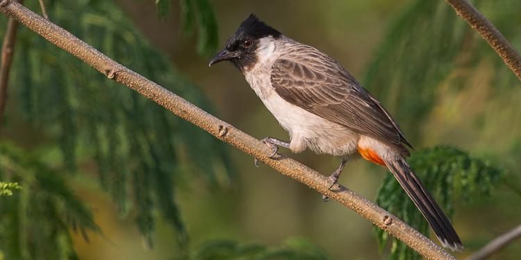 7 Cara Merawat Burung Kutilang Agar Gacor Dan Ngekek Panjang Pintarpet