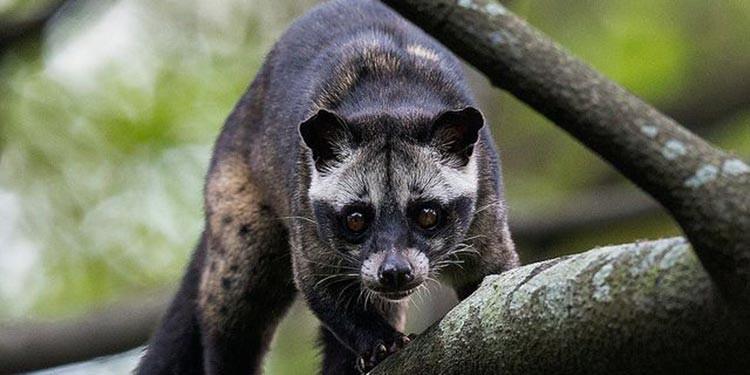 7 Cara Menjinakkan Musang Pandan Umur 2 Bulan Untuk Pemula Pintarpet