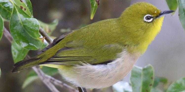 7 Cara Merawat Burung Pleci Agar Suaranya Gacor Ngeplong Pintarpet