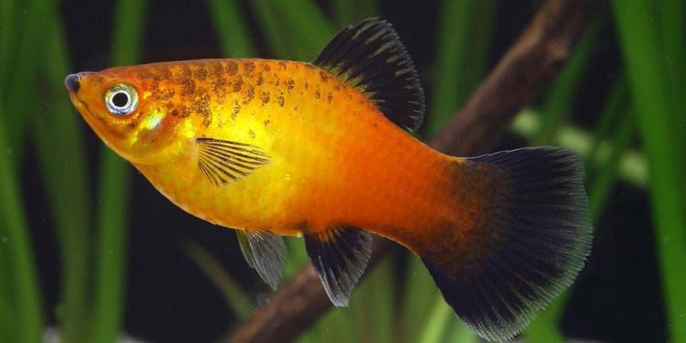 13 Ikan Hias Air Tawar yang Bisa Dicampur di Satu Akuarium ...