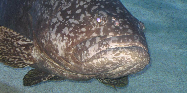 15 Jenis Ikan Kerapu Laut Paling Terkenal Enak Di Indonesia Pintarpet