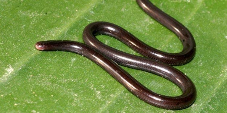 Ini Dia Spesies Ular Terkecil di Dunia Mirip Cacing Tanah ...