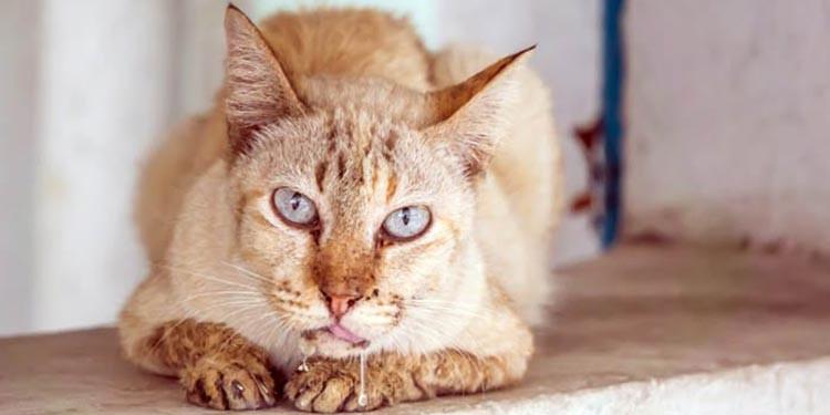 9 Penyebab dan Cara Mengobati Kucing Berliur Berlebihan ...